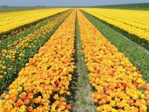 Tulpen auf Texel