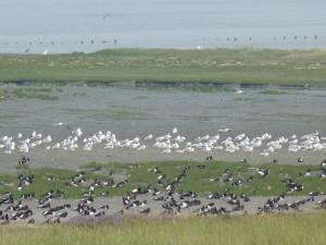 Vogelwelt im Watt