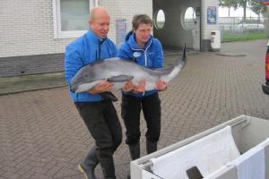 bruinvis 1 300x200 Schutz für Schweinswale: SOS Dolphin und Ecomare kooperieren